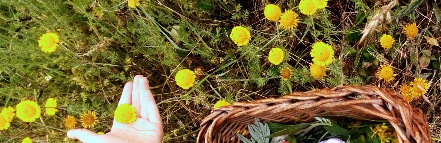 erbe spontanee sassoferrato
